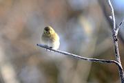 29th Dec 2017 - Little yellow finch!