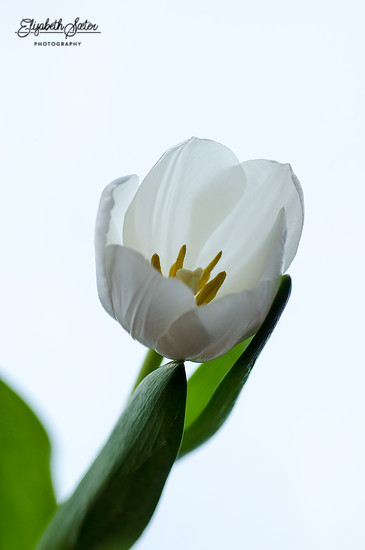 White tulip by elisasaeter
