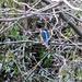 Phil's Kingfisher