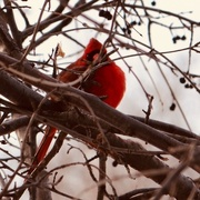 30th Dec 2017 - Visit by a Red Cardinal