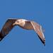 Gull in flight Closeup
