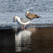 Gull on the edge of ice with reflection
