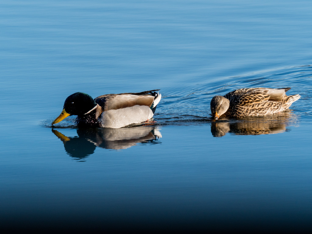 Two mallards on glass by rminer