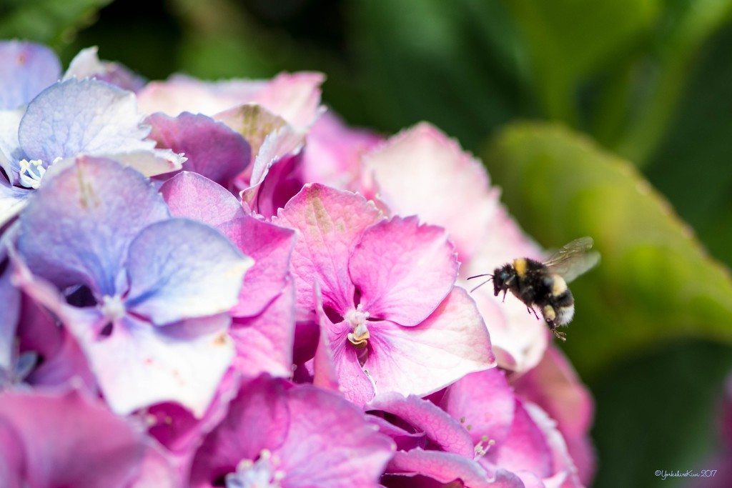 bumble bee and hydrangea by yorkshirekiwi