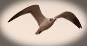 31st Dec 2017 - Lone Seagull!