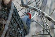 29th Dec 2017 - Red-bellied Woodpecker