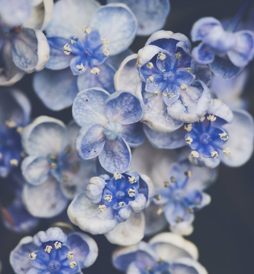 Blue Hydrangea by nicolecampbell