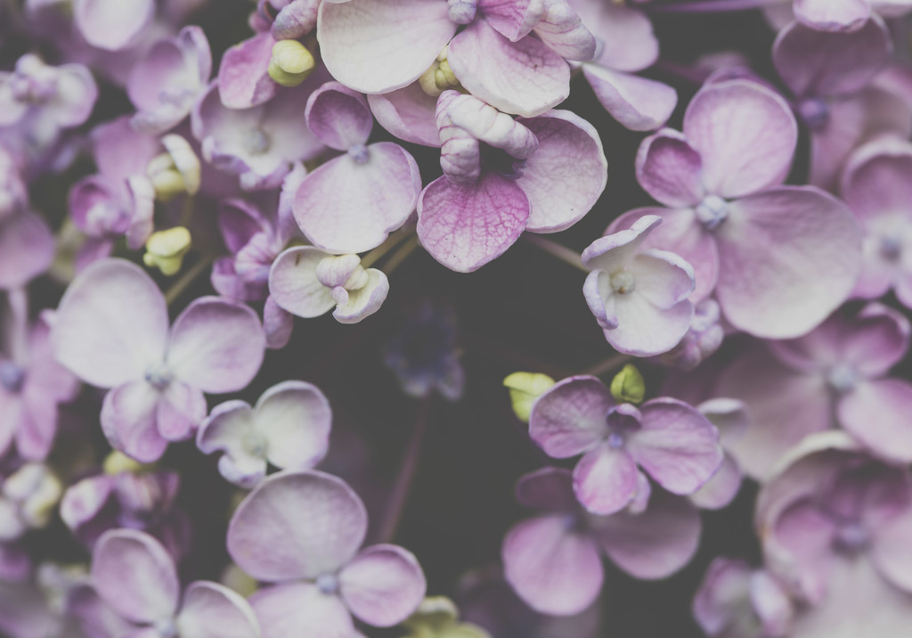 Pink Hydrangea by nicolecampbell