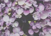 31st Dec 2017 - Pink Hydrangea