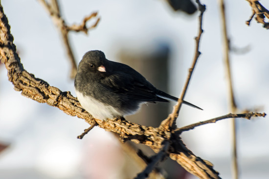 Junco In The Oak Tree by farmreporter