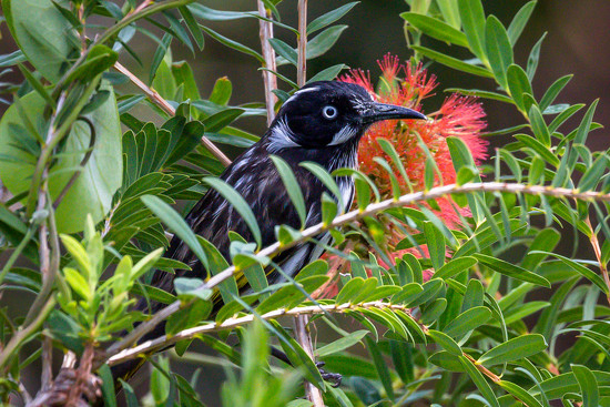 New Holland Honeyeater by pusspup