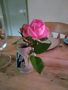 1st Jan 2018 - A rose on New Years Day