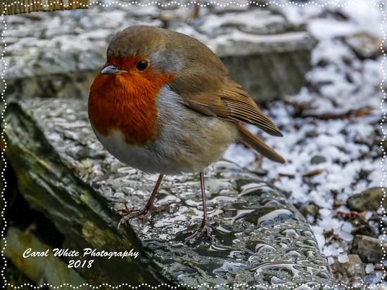 New Year Robin In The Snow by carolmw