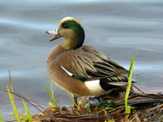 American Wigeon by seattlite