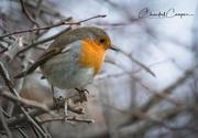 31st Dec 2017 - Robin