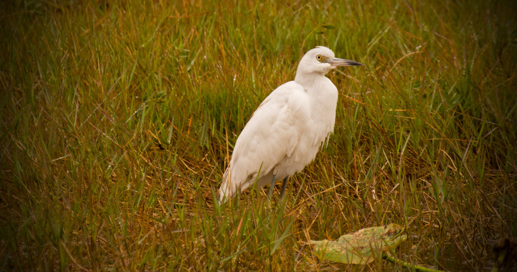Egret in the Grass! by rickster549