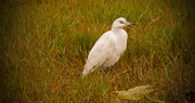 2nd Jan 2018 - Egret in the Grass!