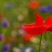 Poppy by maureenpp