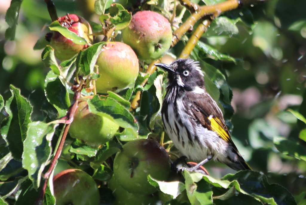 Waiting for the apples to ripen by gilbertwood