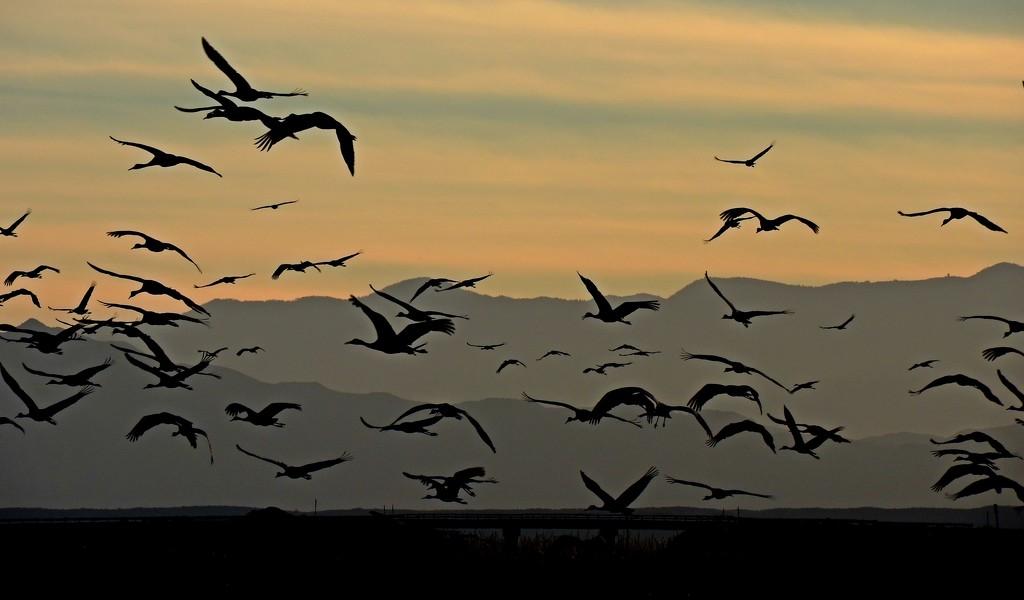 Dance of Sandhill Cranes by janeandcharlie