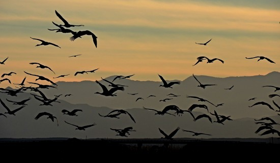 Dance of Sandhill Cranes by janeandcharlie