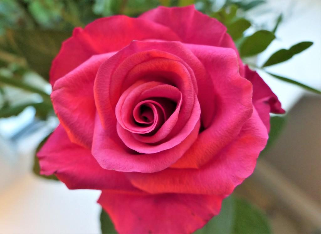 Swirling Rose by carole_sandford