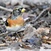 Brambling at RSPB by rosiekind