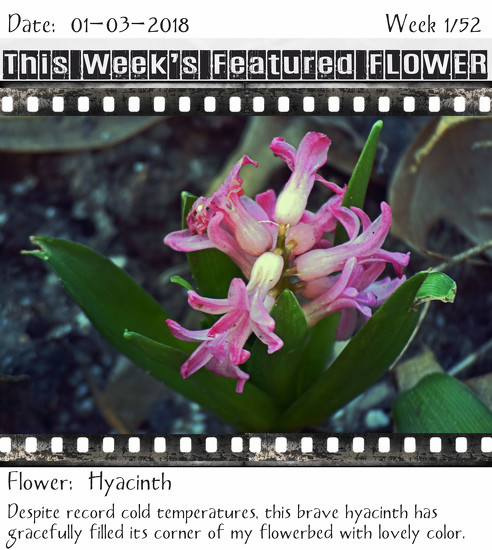Featured FLOWER: Hyacinth by dsp2
