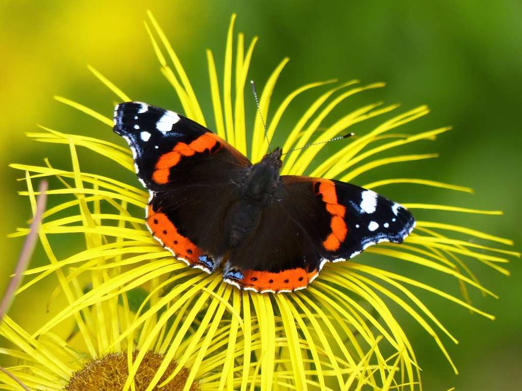 Red Admiral on Yellow daisy by susiemc