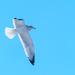 Gull in Flight Ice Beak