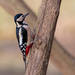 2018 01 03 - Woodpecker by pixiemac