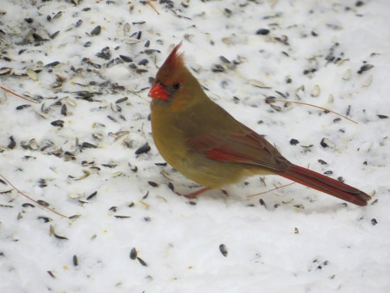 Mrs. Cardinal. by maggie2