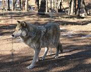 3rd Jan 2018 - Wolf