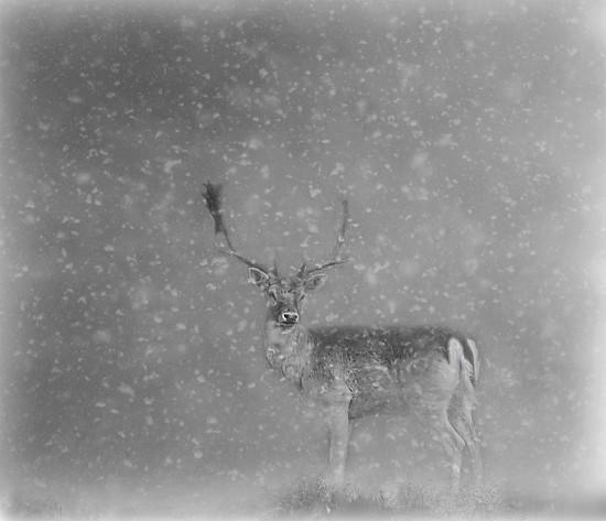 Winter Stag by jesperani