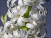 4th Jan 2018 - Hyacinth