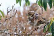 4th Jan 2018 - House sparrow
