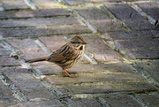 4th Jan 2018 - Song Sparrow