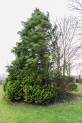 4th Jan 2018 - Windy fir tree