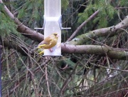5th Jan 2018 - Two Greenfinches!
