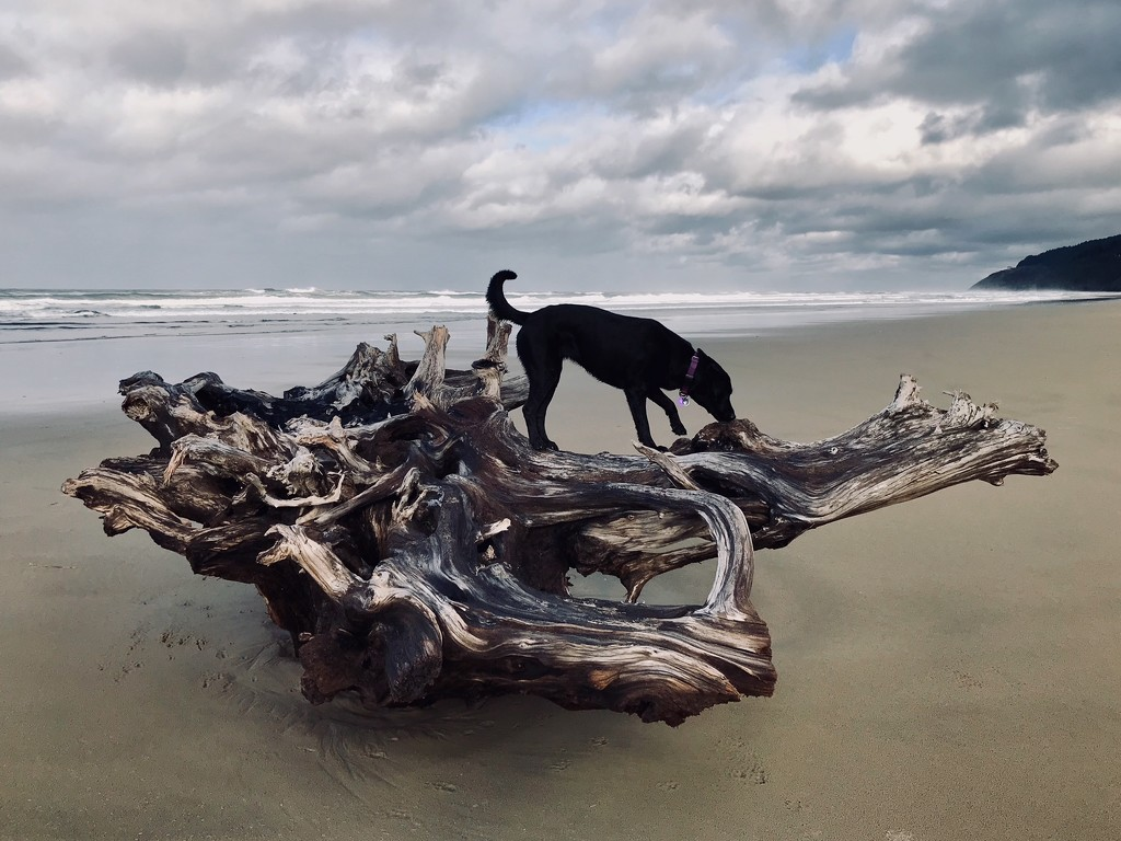 Pearl on the Driftwood Dragon by jgpittenger