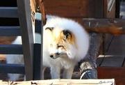 5th Jan 2018 - Not An Arctic Fox