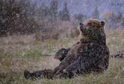 6th Jan 2018 - Bear Meditating In the Snow