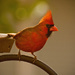 Cardinal on the Feeder! by rickster549