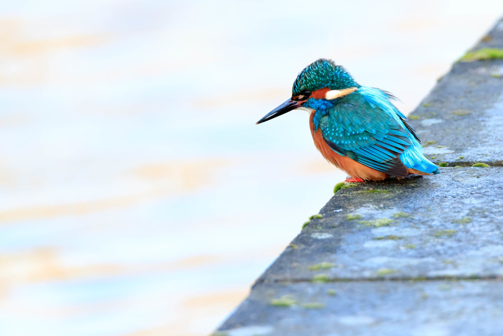 Male Kingfisher in an urban environment!! by padlock