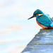 Male Kingfisher in an urban environment!! on 365 Project