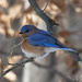 Bluebird puffed up against the cold by ksmale