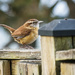 Carolina Wren by marylandgirl58