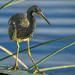 Little Blue Heron by danette
