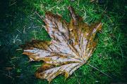 8th Jan 2018 - Autumn Leaf