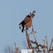 Hungry Bullfinch